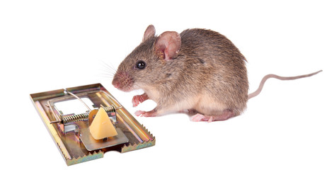 indecisive mouse near mousetrap with cheese. isolation