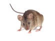 Field Mouse. isolated. striped field mouse - 70560892