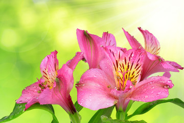 alstroemeria pink flowers on green natural background