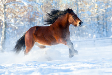 Big draft horse runs in winter