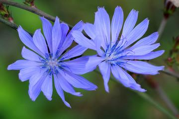 Cornflower or Centaurea cyans