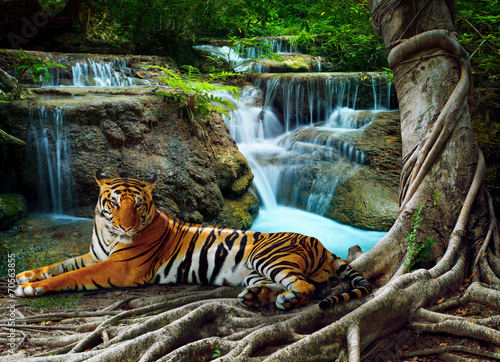 Foto op Canvas Tijger indochina tiger lying with relaxing under banyantree against bea