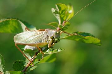 Grasshopper (Tettigonia cantans)