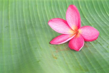 Frangipani on green leaf