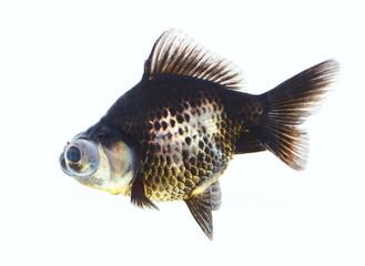 Aquarium black fish