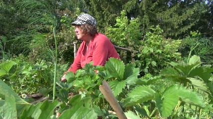 Old gardener woman weed strawberry plants with ripe berry