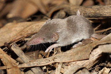 White Toothed Shrew - Crocidura species