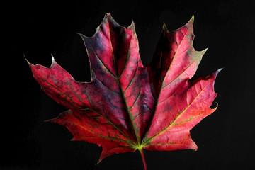 Maple leaf in autumn colors