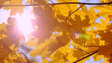 Gold Maple Leaves and Sun