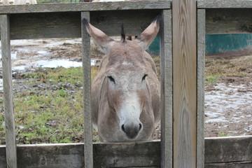 Donkey behind Fence