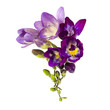 Blooming Freesia. Isolated on white background.