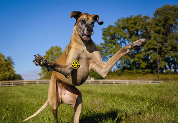 Great Dane on hind legs yellow ball near shoulder