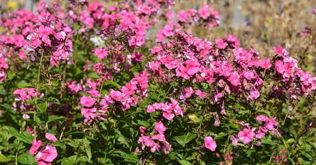jardin alpin fleuri