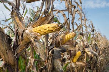 Corn on the stalk