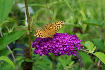 Buddleja davidii Royal Red and butterfly