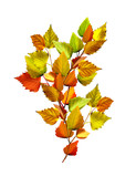 autumn leaves of birch isolated on white background