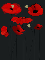 Blossom poppy flowers over black background