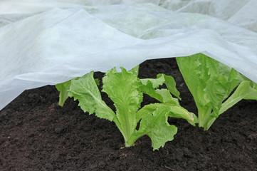 voile de croissance sur plants de salade