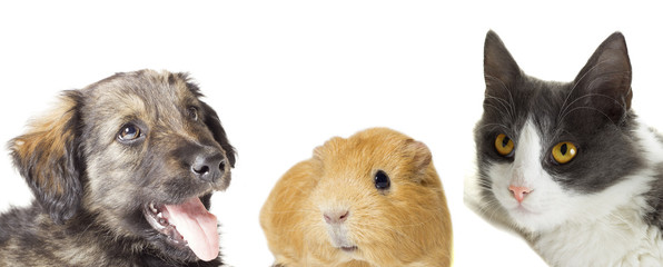 cat and dog and guinea pig looking up