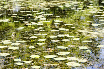 Water lilies on the summer time