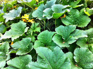 Pumpkin plants and its green leaves.