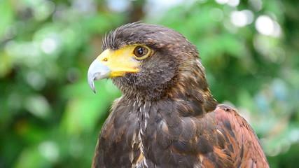 Spilornis cheela (Crested Serpent Eagle). HD