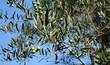 Постер, плакат: Un olivier et ses olives vertes sur fond de ciel bleu