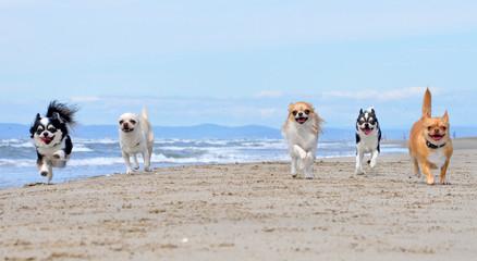 chihuahuas on the beach