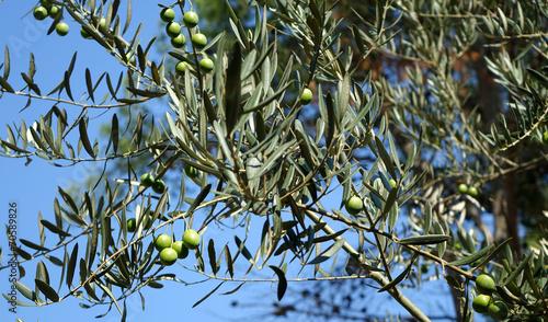 Papiers peints Condiment Un olivier et ses olives vertes sur fond de ciel bleu