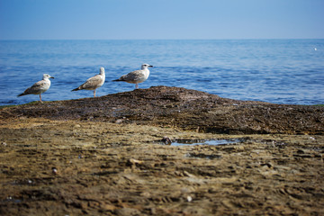 Three seagulls standing on the sea shore
