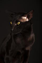 Beautiful black oriental cat