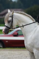 White Arabian stallion performing dressage