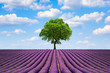 Field of lavender and lonely tree in Provence - Cote d'Azur
