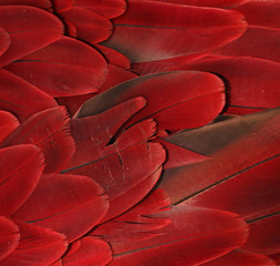 Czerwona papuga pierze