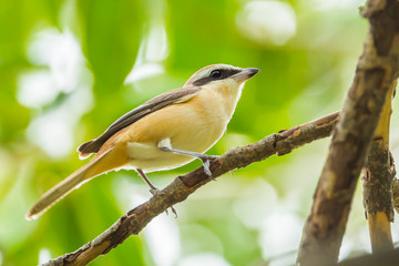 Brown shrike( Lanius cristatus) in nature of Thailand