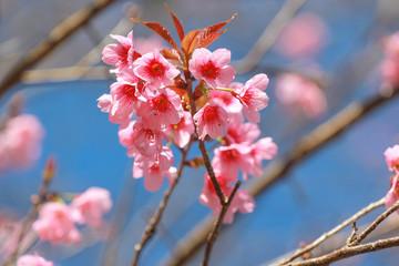 Thailand Sakura flowers