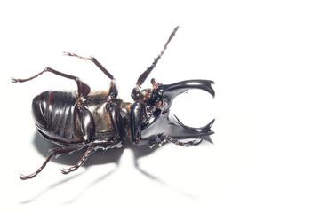 Rhinoceros beetle isplate on white