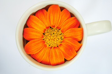 Orange Zinnia in cup
