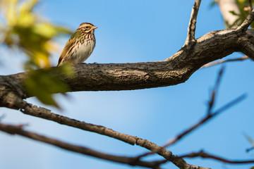 Baird's Sparrow 3
