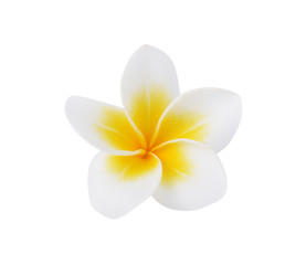 Frangipani or Plumeria Flower Isolated on White Background