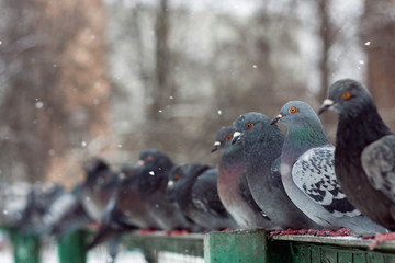 A row of pigeons.