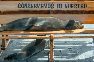 Sea lion taking a nap on a bench, San Cristobal, Galapagos