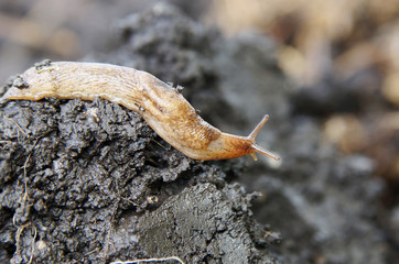 Slug crawling on the wet ground