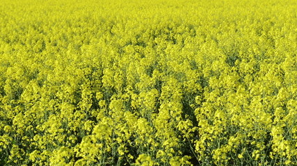 Footage of canola field or rapeseed field in detail