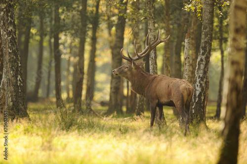 Fotobehang Antilope cerf