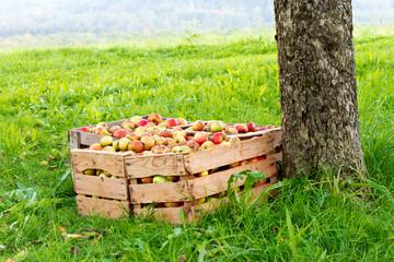Kiste mit Äpfel auf einer Streuobstwiese