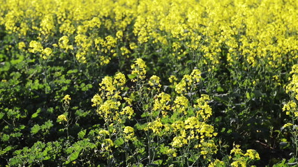 Footage of canola flower or rapeseed flower in detail