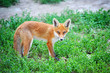 Red Fox Cub in grass