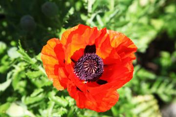 Flower red poppy, top view,  Цветок красного мака, вид сверху.