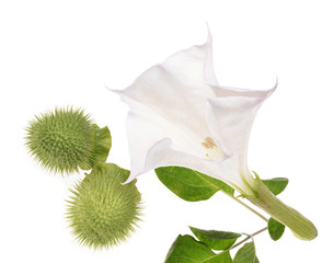 Datura   flower with leaves over white background .